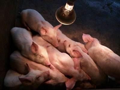 副猪嗜血杆菌病的症状照片图谱及防控措施
