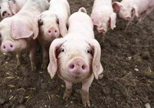 多雨天养猪一定要做好这7点