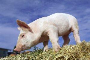 兽药知识   盐酸林可霉素的药理和兽医临床使