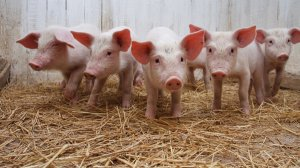 兽药知识   兽用四环素的药理作用和临床使用