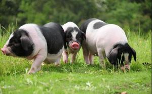 猪发烧了?我们应该怎么办?