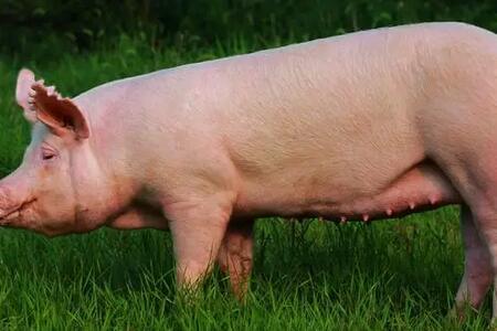 """养猪人注意了!生猪免疫注射也有""""八项规定"""""""