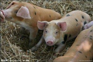 你在给猪场消毒时出现过此类现象吗?