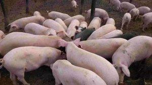 猪体温下降如何救治?这位老兽医给出了这套方