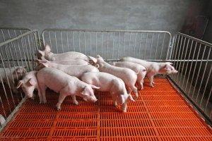 夏季仔猪顽固性腹泻的原因及防治方法!