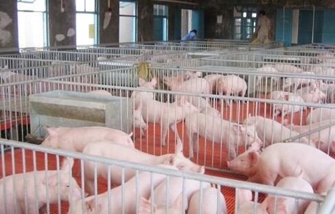 养猪,打针与投药必都不可少,到底哪个好?
