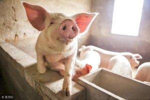 猪伪狂犬病性腹泻与圆环病毒性腹泻的症状及防