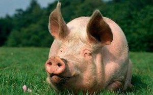 兽药知识   阿莫西林在养猪中的用法总结